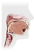Swallowing, illustration