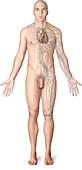 Immune system, illustration