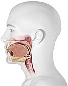 Upper organs of the digestive system, illustration