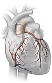 Heart, illustration