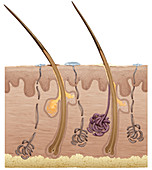 Cross Section of the Skin, illustration