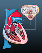 Heart valves, illustration