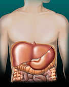Liver and stomach, illustration