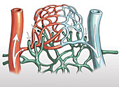 Artery and Capillary Networks, illustration