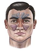 Sinuses, illustration