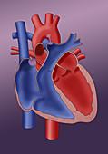 Newborn Heart, illustration