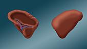 Spleen, illustration