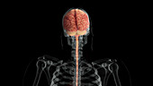 Brain and Spinal Cord, Posterior View