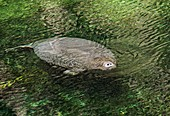 Florida manatee at the surface