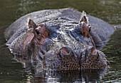 Common hippopotamus in water