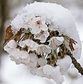 Wild cherry (Prunus avium) blossom in snow