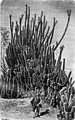 Cacti in the Atacama Desert, Bolivia, 19th century