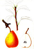 French pear variety, 19th century