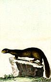 American mink, 19th century