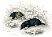 European mole, 19th century