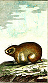 Norway lemming, 19th century