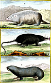Moles and mole rats, 19th century