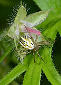 Lined orb-weaver spider, female