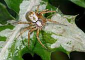 Turf running spider