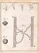 Red blood cells and vessels by van Leeuwenhoek, 1700