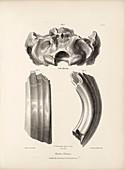 Toxodon prehistoric mammal fossils, 19th century