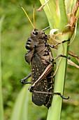 Tropical Grasshopper