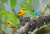 Golden tanagers and golden-naped tanager