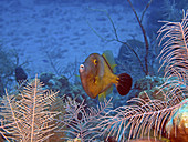 Whitespotted Filefish (Cantherhines macrocerus)