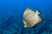 French Angelfish (Pomacanthus paru)