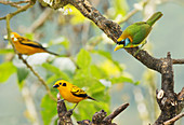 Red-headed barbet and golden tanagers
