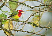 Red-headed barbet (Eubucco bourcierii)