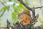 Red-tailed Squirrel (Sciurus granatensis)