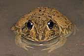Eastern Snapping Frog