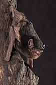 Little Pied Bat