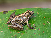 Florida Cricket Frog