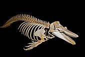 Orca Killer Whale Skeleton