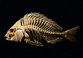 Sheepshead Fish Skeleton