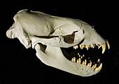 Leopard Seal Skull