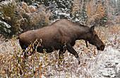 Moose near Highway