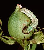 Bollworm on Cotton Boll