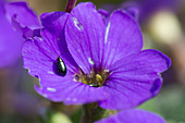 Aubretia and flea beetle