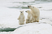 Polar Bear Female with Cubs