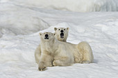 Polar Bear with Large Cub