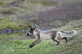 Arctic Fox Taking Common Eider Chick