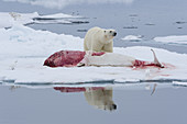 Polar Bear Feeding on Dead Beluga Whale
