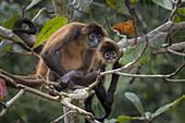 Geoffroy's Spider Monkeys