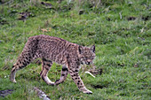 Wild Bobcat in California