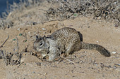 California Ground Squirrel (Spermophilus beecheyi)