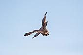 Cooper's Hawk (Accipiter cooperii), adult