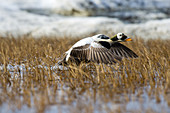 Spectacled Eider Taking Flight
